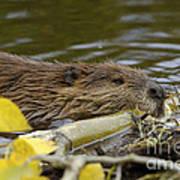 Beaver Poster