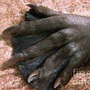 Beavers Hind Foot Poster