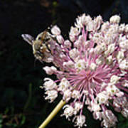 Bee And Allium Poster