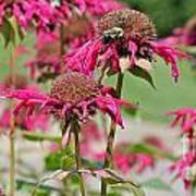 Bee Balm 3 Poster