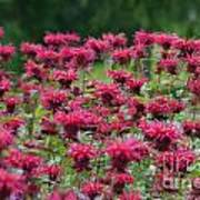 Bee Balm Bounty Poster