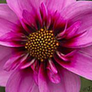 Bee Happy Dahlia Poster