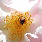 Bee In Camellia Poster