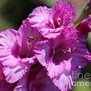 Bee In Pink Gladiolus Poster