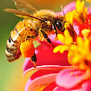Bee Laden With Pollen Poster