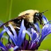 Bee On A Blue Flower Poster by Matt Dobson