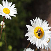 Bee On A Daisy 2 Poster