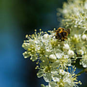 Bee On A Rowan Flower - Featured 3 Poster