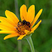 Bee On A Smooth Oxeye Poster
