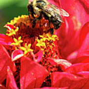 Bee On A Zinnia Flower Poster