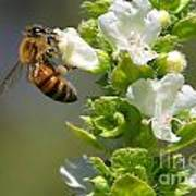 Bee On Basil Poster