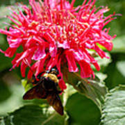 Bee On Bee Balm Flower Poster