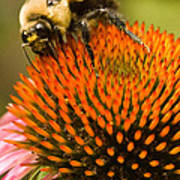 Bee On Coneflower Poster