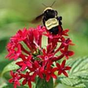 Bee On Flower Cluster Poster