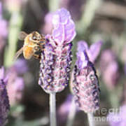 Bee On Lavender Square Poster