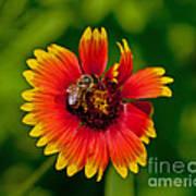 Bee On Orange Flower Poster