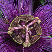Bee On Passion Flower Brazil Poster by Pete Oxford