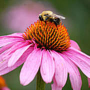 Bee Resting On Cone Flower Poster