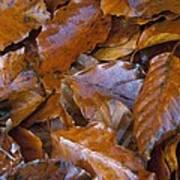 Beech (fagus Sp.) Leaves Poster