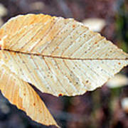 Beech Leaf In Winter Poster
