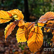 Beech Leaves In Winter Poster