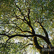 Beech Tree Canopy 2 Poster