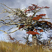 Beech Tree, Chile Poster