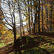 Beech Trees - Autumn Poster