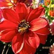 Bee's Dahlia Delight Poster
