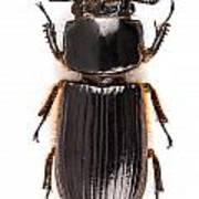 Beetle Aceraius Grandis Poster