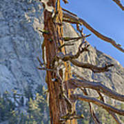 Beetle Barren Pine Poster