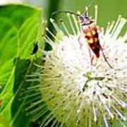 Beetle On Buttonbush Poster