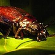 Beetle With Powerful Mandibles Poster