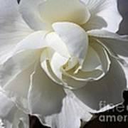 Begonia Named Nonstop Apple Blossom Poster