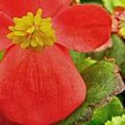 Begonia Volumia Poster