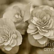 Begonias In Sepia Poster
