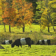 Belted Galloway Cows Grazing On Grass In Rockport Farm Fall Maine Photograph Poster by Keith Webber Jr