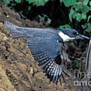 Belted Kingfisher Leaving Nest Poster