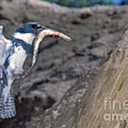 Belted Kingfisher With Prey Poster