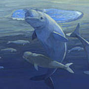 Beluga Whales Swimming As A Pod Poster