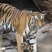 Bengal Tiger And Cubs Bandhavgarh Np Poster
