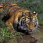 Bengal Tiger Drinking At Pond Endangered Species Wildlife Rescue Poster