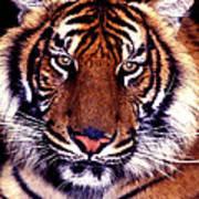Bengal Tiger Eye To Eye Poster