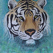 Bengal Tiger In Water Poster by David Hawkes