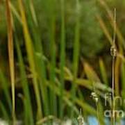 Bent Grass Variation In Nature Poster