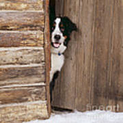 Bernese Mountain Dog At Log Cabin Door Poster