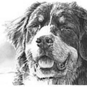 Bernese Mountain Dog Pencil Portrait Poster