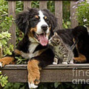 Bernese Mountain Puppy & Kitten Poster