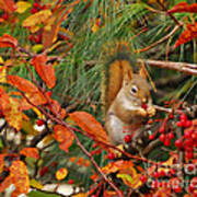 Berry Loving Squirrel Poster