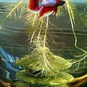 Betta Fish Moby Dick Poster